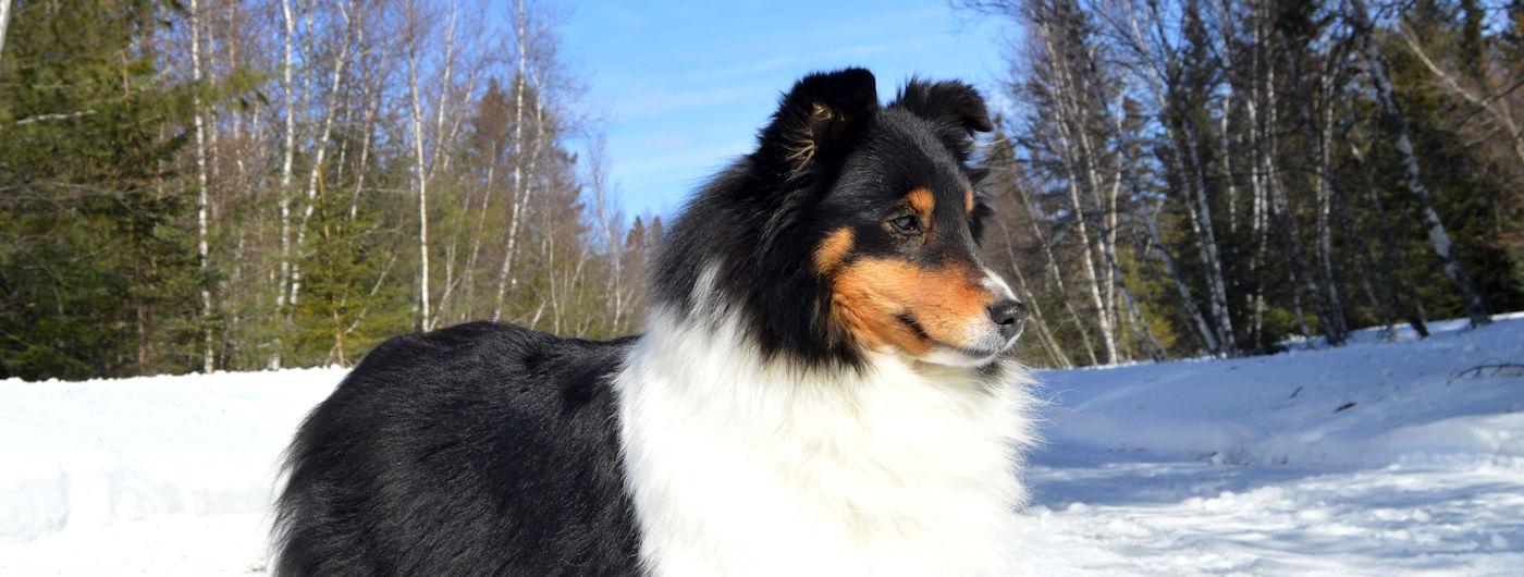 Bakara Shetland Perm Reg D Enregistre Au Club Canin Canadien Ckc
